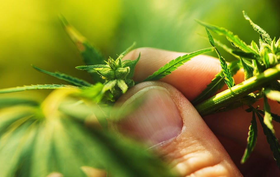 CBD Oil Layn Corp. establishes separate entity for CBD business, launches Plantae to complement CBD formulations – FoodNavigator-USA.com