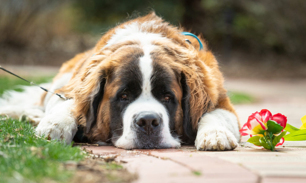 CBD Oil A tangled web: Teasing out the effects of CBD on canine seizures