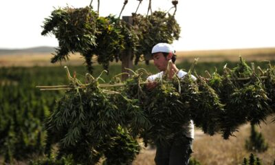 """CBD Oil """"Cannabis Treats COVID-19"""" Rallied Weed Stocks. Cannabis Could Aid Pandemic—If Someone Pays To Find Out."""