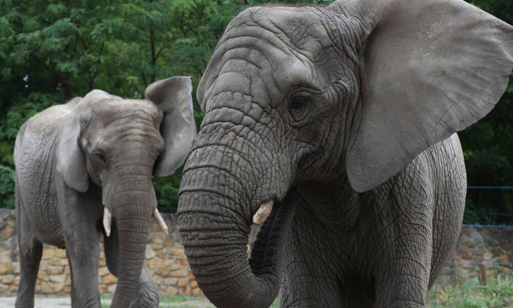 CBD Oil Warsaw Zoo Studying Whether Hemp Oil Reduces Stress In Elephants