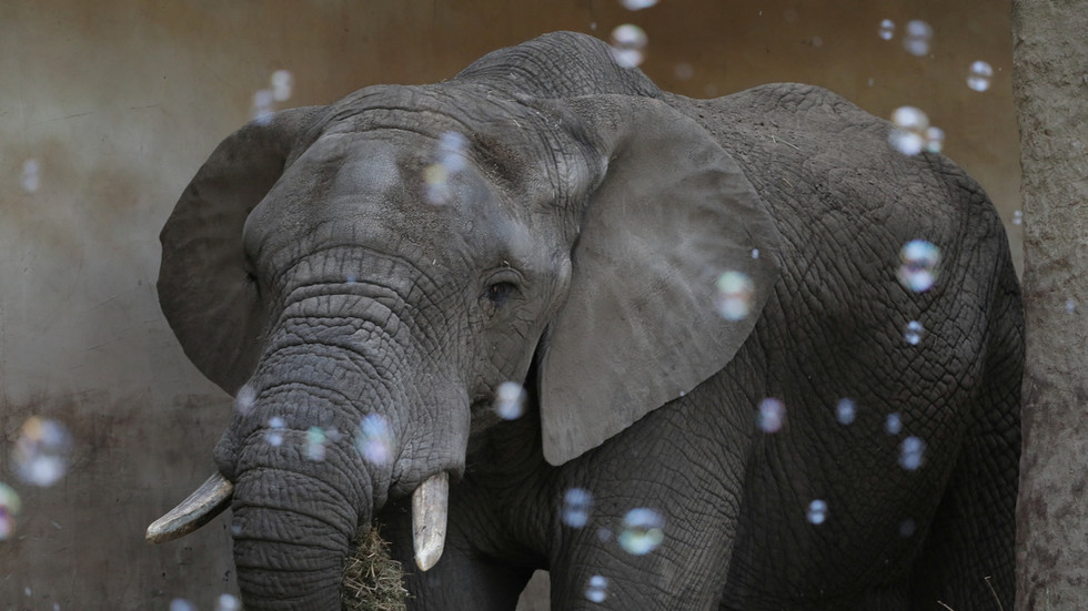 CBD Oil Warsaw Zoo begins medical marijuana trial to help calm its stressed-out and grieving elephants